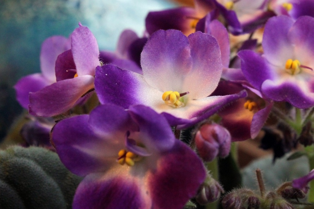 african-violets-care-and-feeding