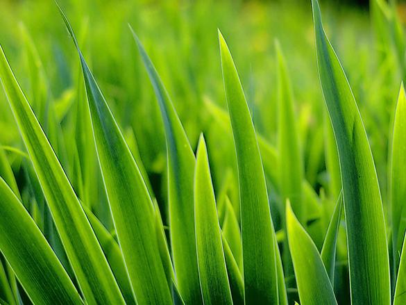 LeavesOfGrass_Grass_585