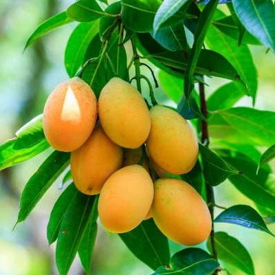 nurserylive-mango-plant