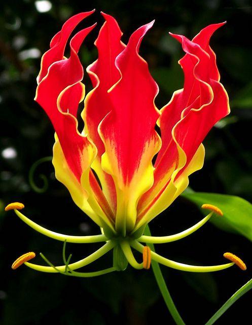 2ad2c383e02de1400bb3f1dea7cb2edf--fire-lily-unique-flowers