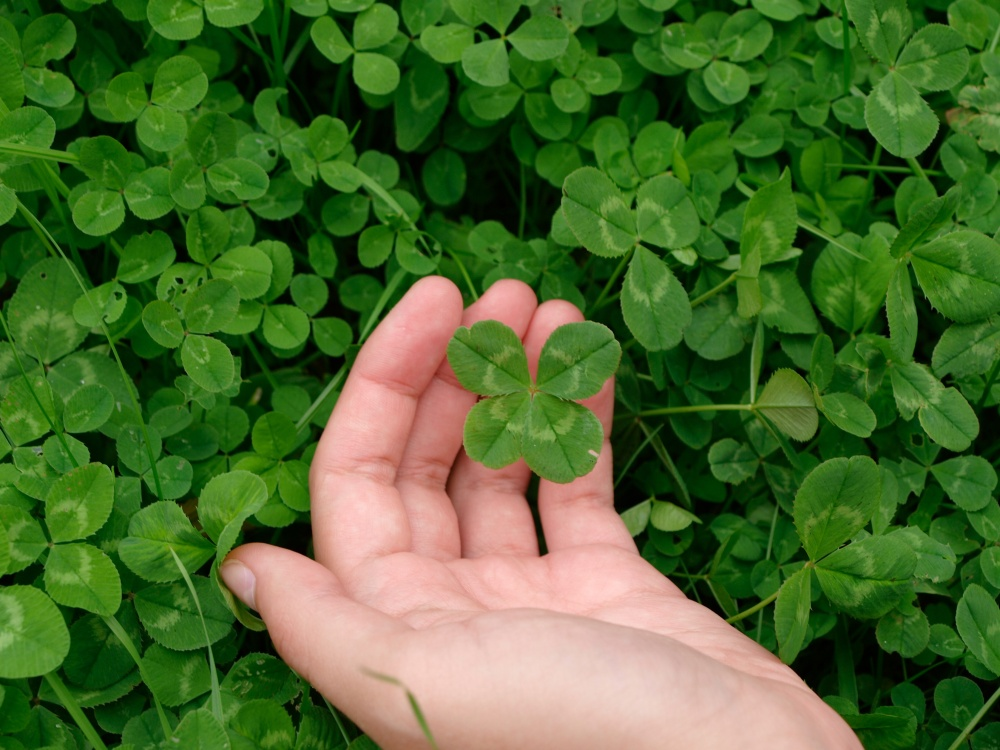 four-leaf clover in hand
