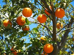 images.jpgorange tree