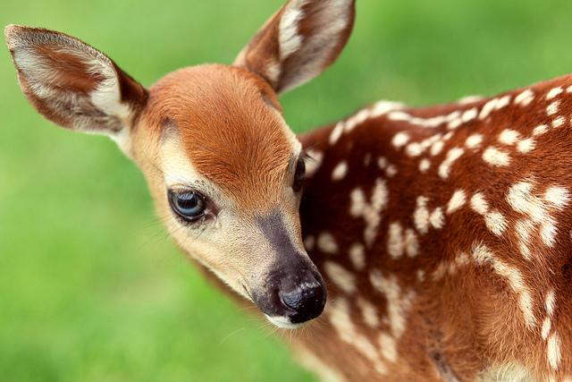 3-baby-orphan-deer