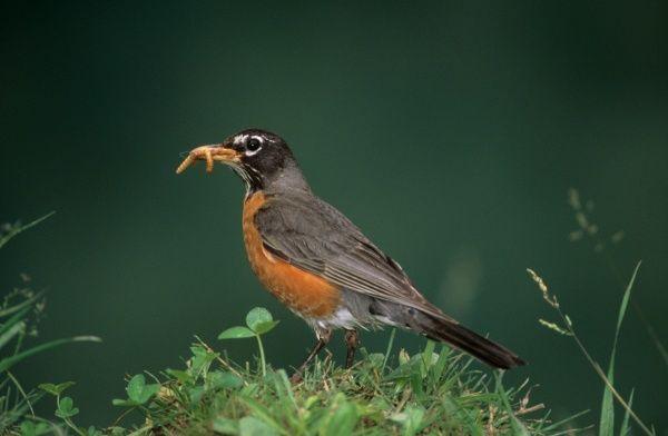 American Robin hunting Worms (Turdus migratorius)East No. America