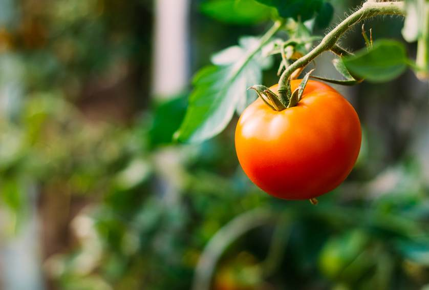 fresh tomato on vine.jpg.838x0_q67_crop-smart