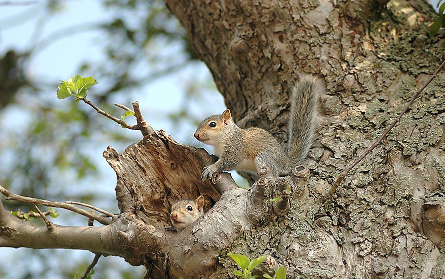 squirrel-cavitynest