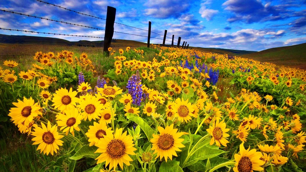 sunflower-field-desktop-wallpapers-hd-Is-Cool-Wallpapers