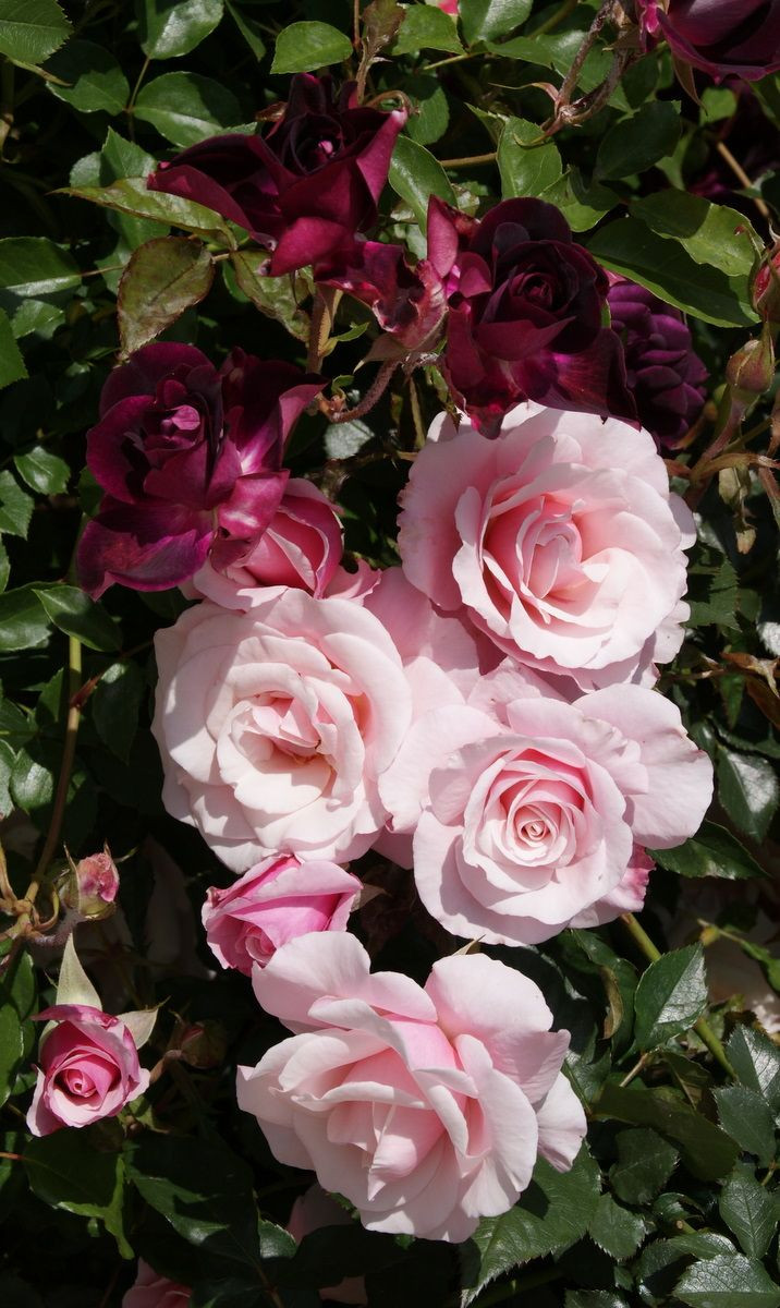 255 best my grandmothers love of roses images on Pinterest Inspiration of what colours are roses