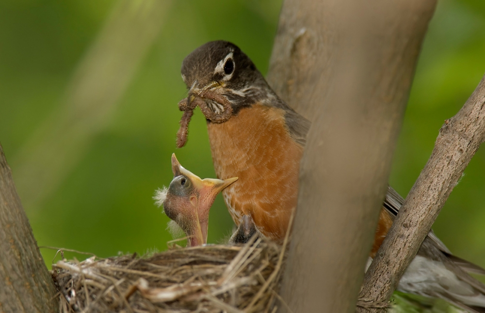 American_robin_in_nest_with_chick_and_worm