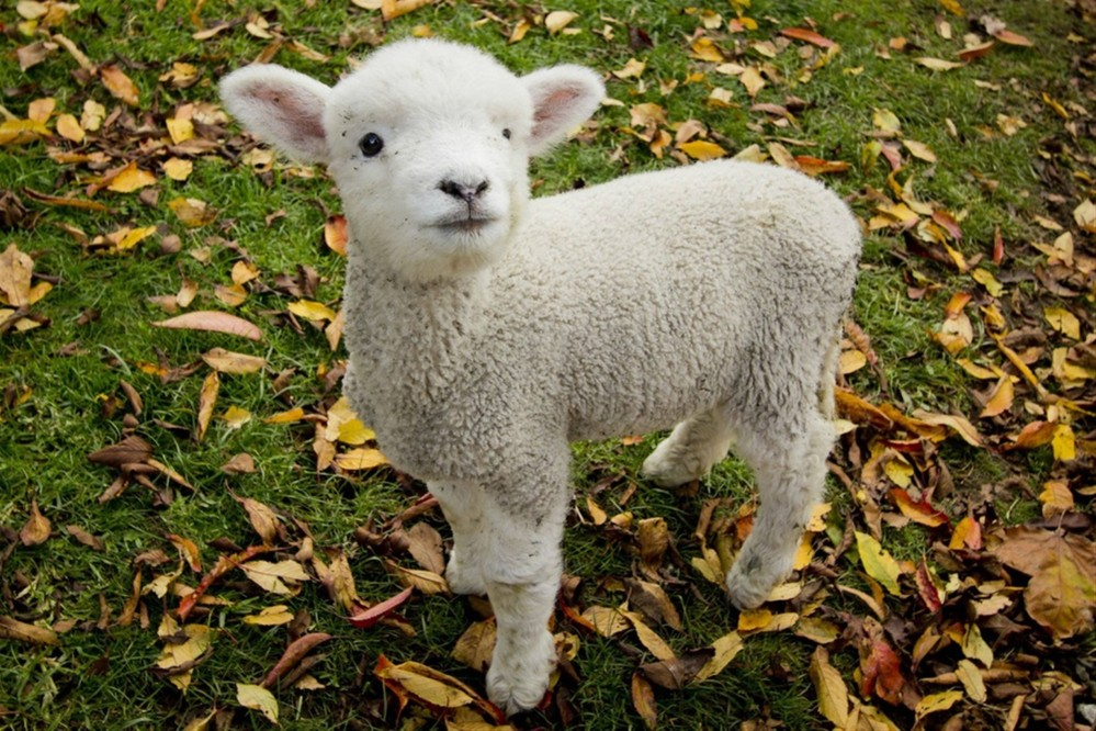 Baby-sheep-wallpapers