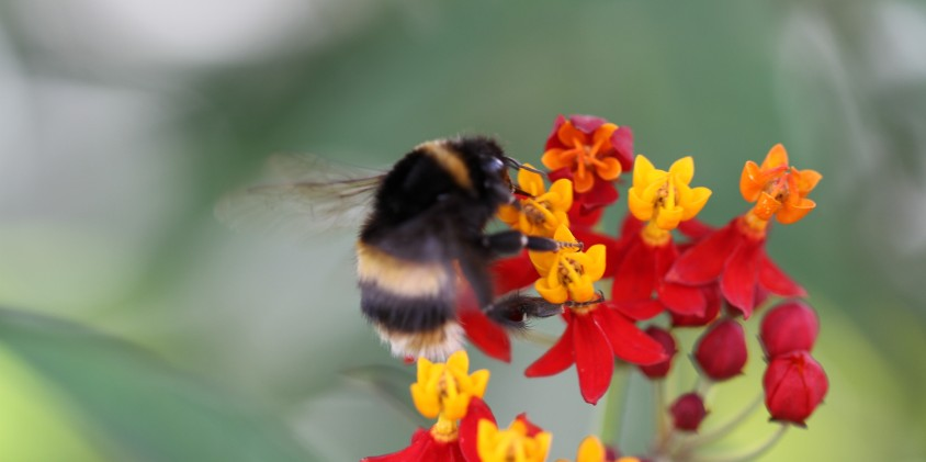 bumble-bee-on-tropical-milkweed-asclepius