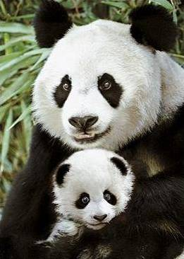 Giant_Panda_Bear_Mother_and_Cub_close_up