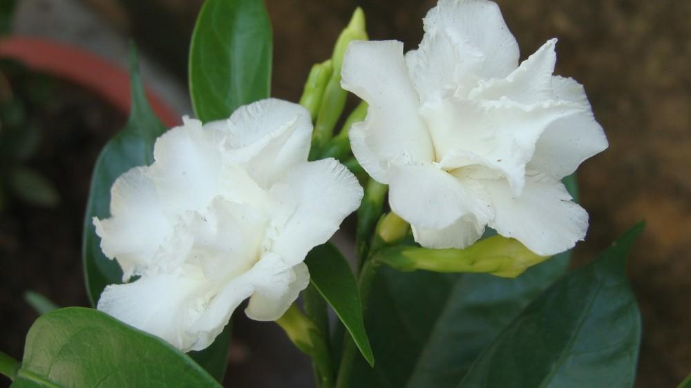 White Camelias