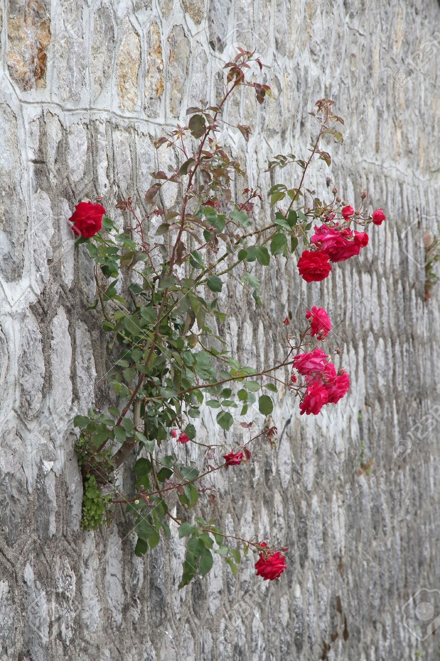 18949640-rose-growing-out-of-wall