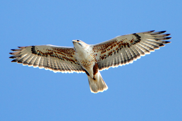 Buteo_regalis_-California_-flying-8-4c