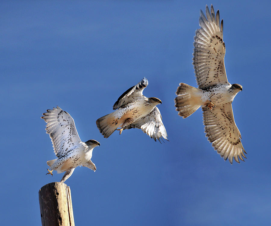 ferruginous-hawk-in-flight-utah-based-photographer-ryan-houston