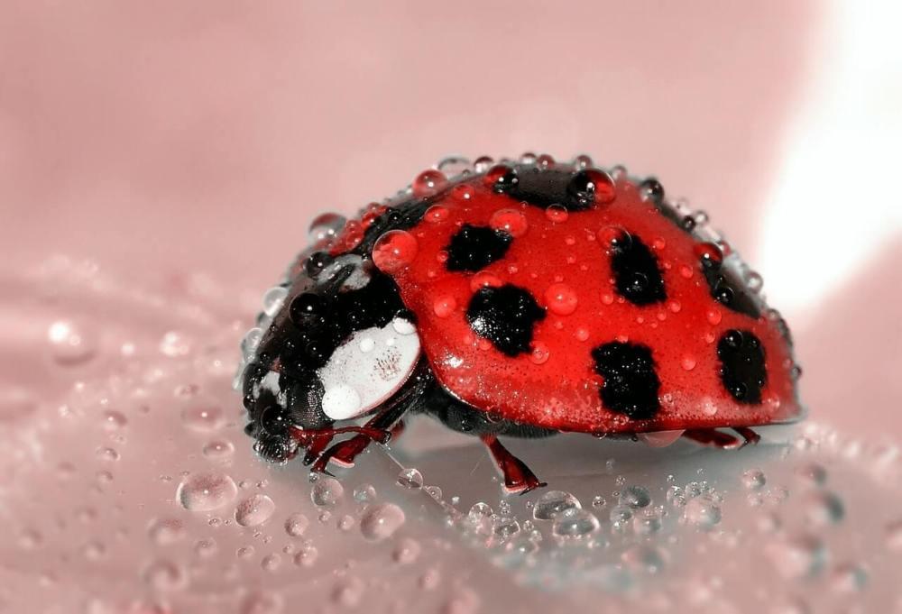 ladybug-beetle-insect-lucky-charm-1