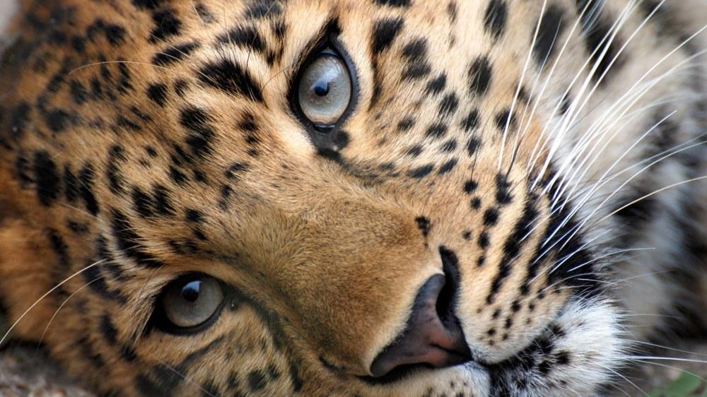 leopard-06