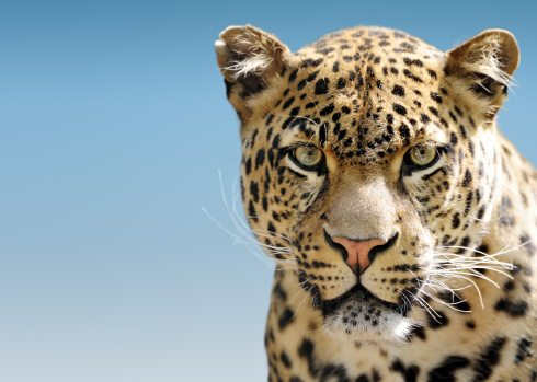 leopard-facts-10-1
