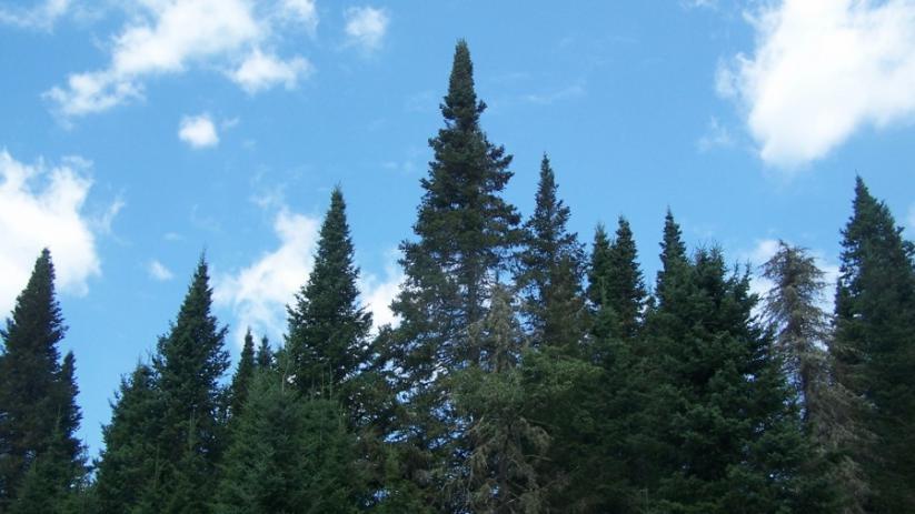 pine_900x506