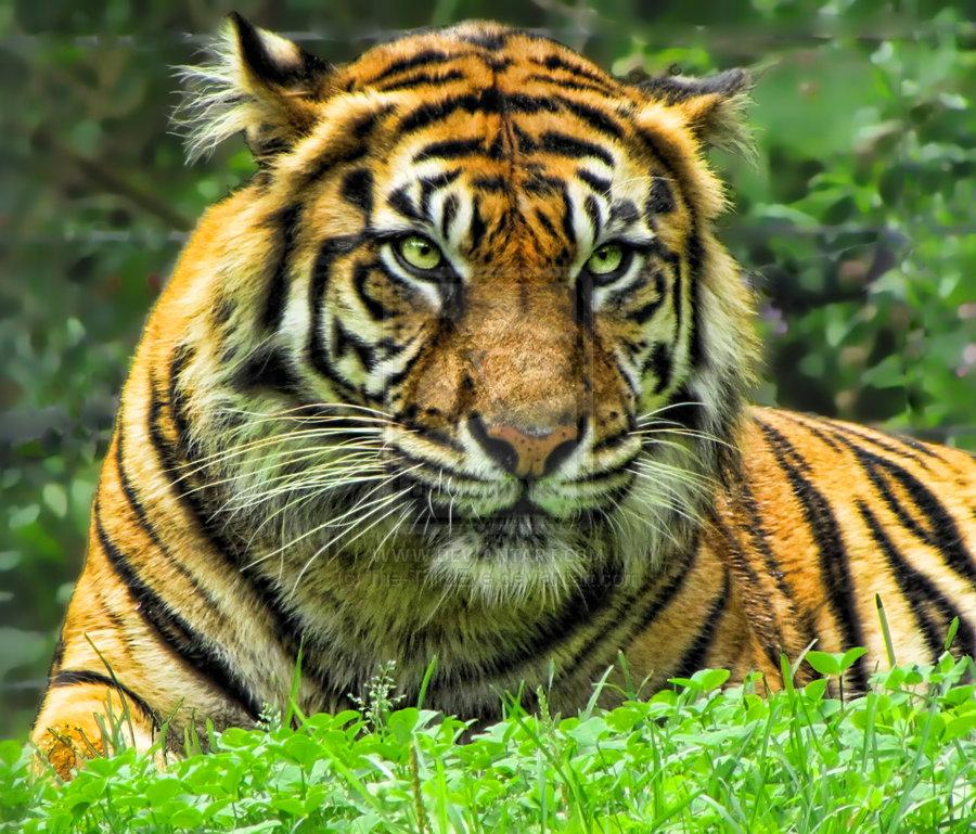 Tiger_by_The_ThirdEye