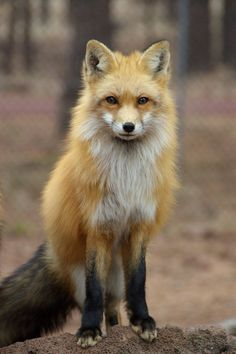 40f2452133dc586079087d2510a825a5--fantastic-fox-little-red