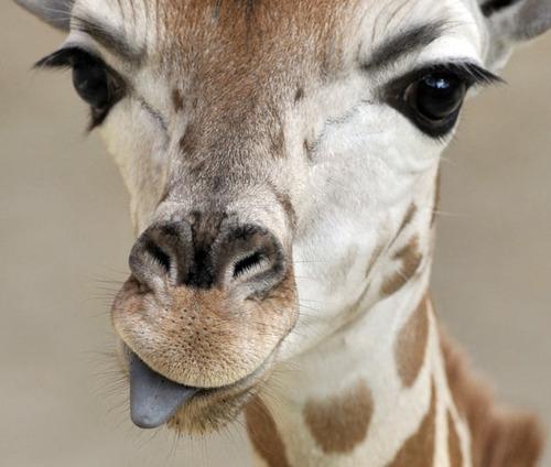 lash_affair_by_j_paris_blog_giraffe