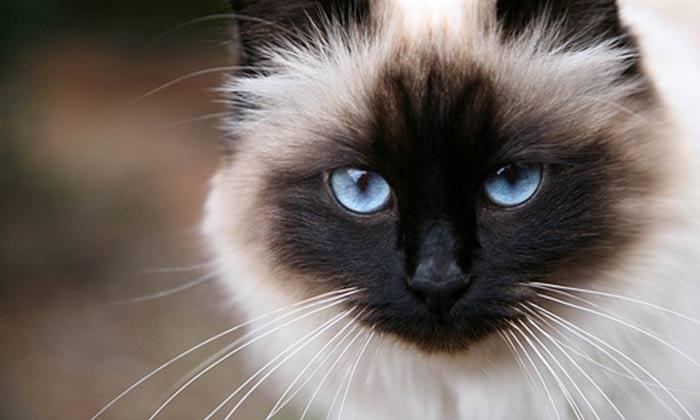 ourfriends4ever_birman_cat_breed_header