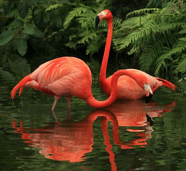 American-Flamingos-birds-images
