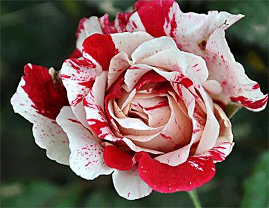 christmas-rose