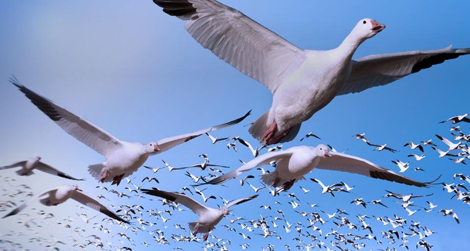 snow-goose-flying-wallpaper-4