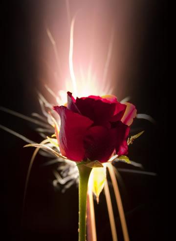 glowing-rose
