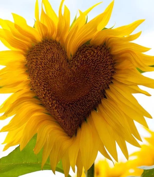 SunflowerSlide1