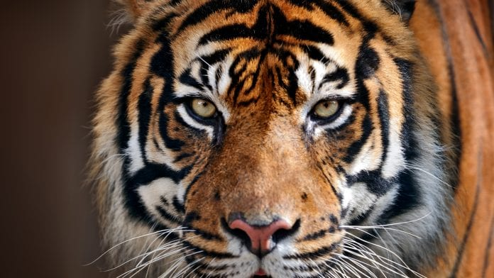 tiger-conservation-copyright-iStock-Freder-1-696x392