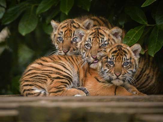 zoo-babies-tigers-fsl