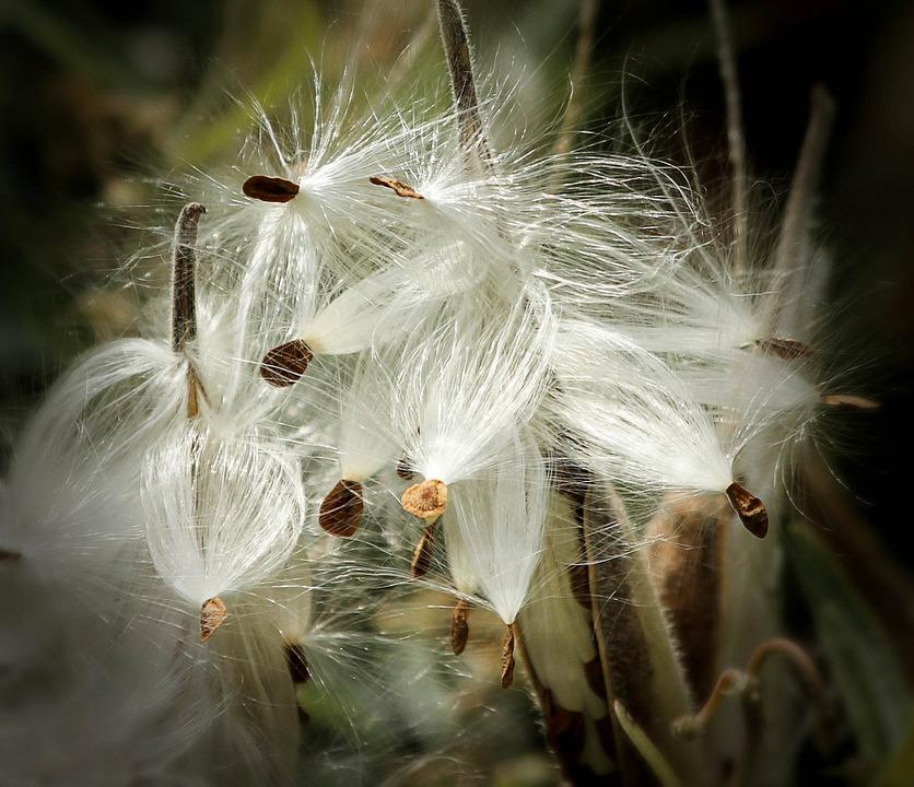 milkweed-170603_960_720