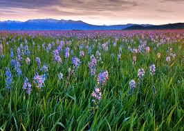 images.jpgcama lillies