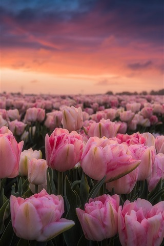 Netherlands-lot-of-pink-tulips-morning-flowers-field-sunrise_iphone_320x480