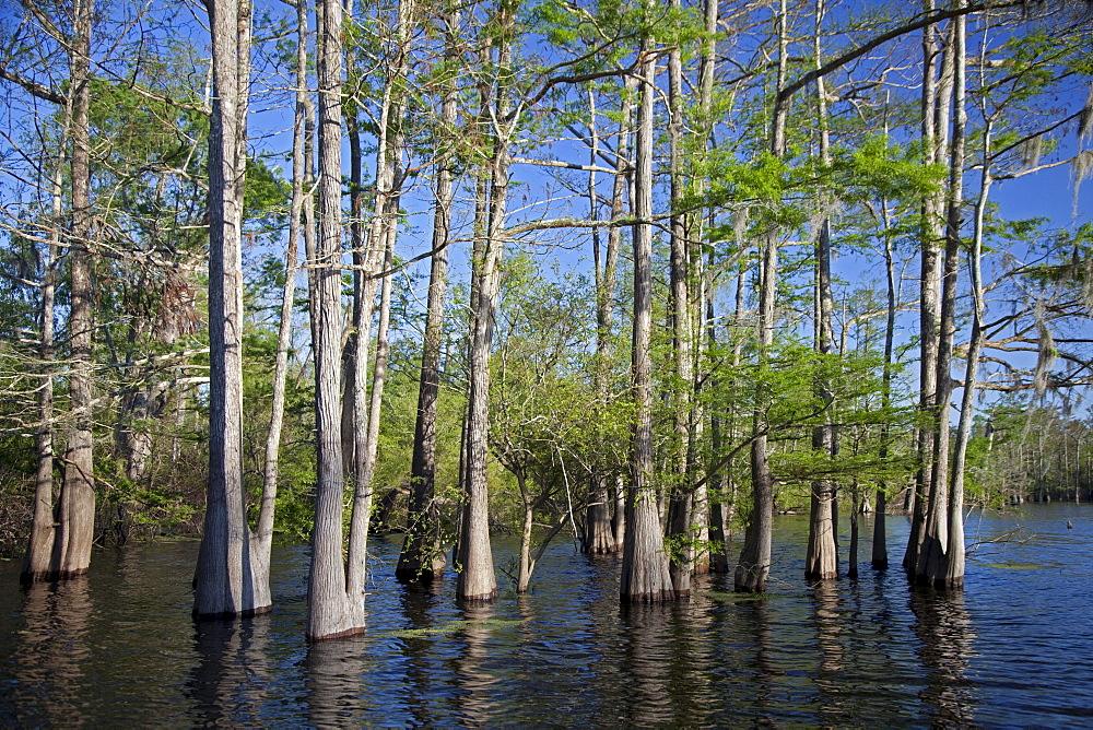 A cypress-tupelo forest in the Atchafalaya River Basin, Bayou Sorrel, Louisiana, USA