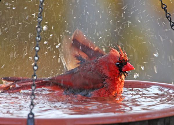 bird-bath-cardinal