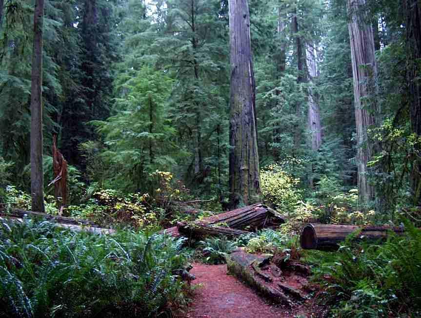 California_Coastal_Redwood_forest_4