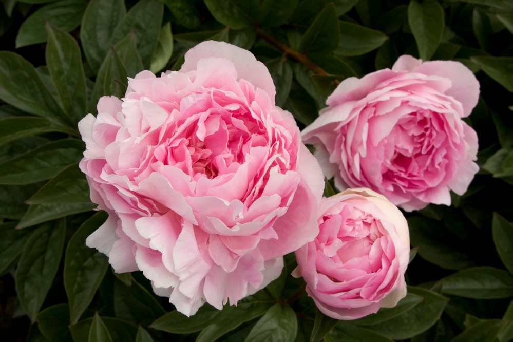 lady-orchid-peony-0410