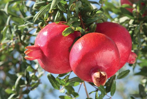 6973_MOONF-PomegranatesOnTree-8536-1