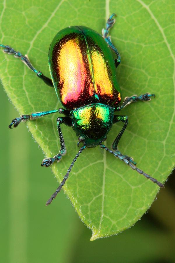 a-dogbane-leaf-beetle-george-grall