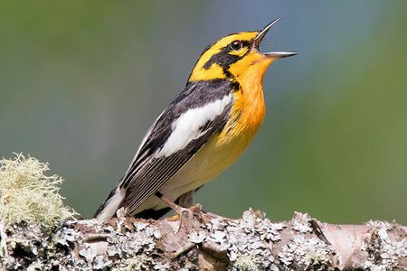blackburnian-warbler-singing-5c3a0672c9e77c000142d400