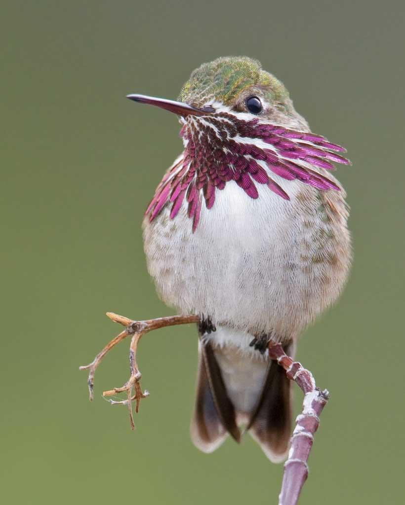 Calliope_Hummingbird_b57-13-083_l_1