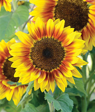 CATID-3710_Sunflowers