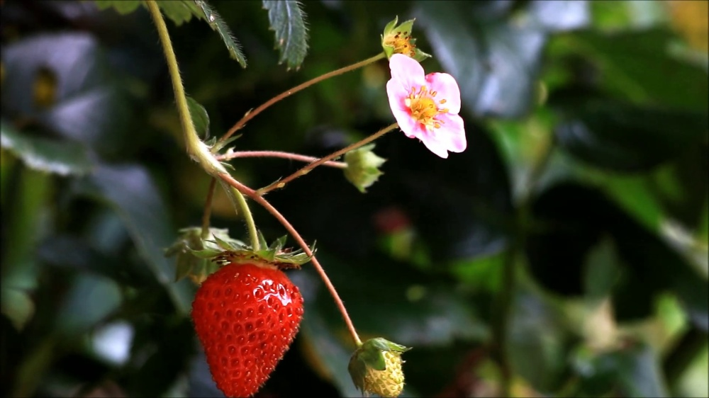 ripe-strawberry-blossom-bush-footage-087410094_prevstill