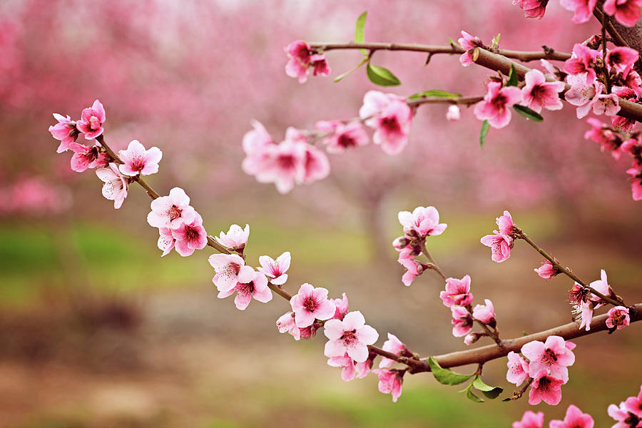 almond-blossom-spring-background-beautiful-pink-spring-tender-flowers-blossom-pink-almonds-cherry-flower-close-up-spring-time-flowers-background-pink-sharp-and-defocused-flowers-blooming-tree-jan-pavlovski