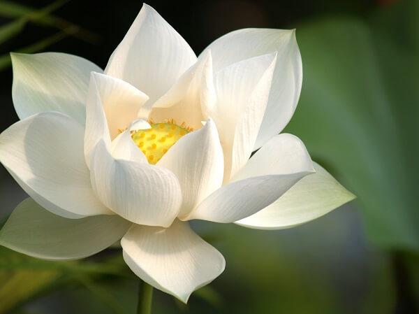 Flor-de-lótus-branca